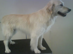 pic of dog grooming completed