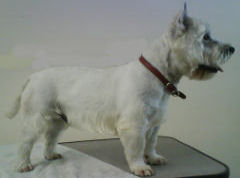 picture of dog groomed in dundalk